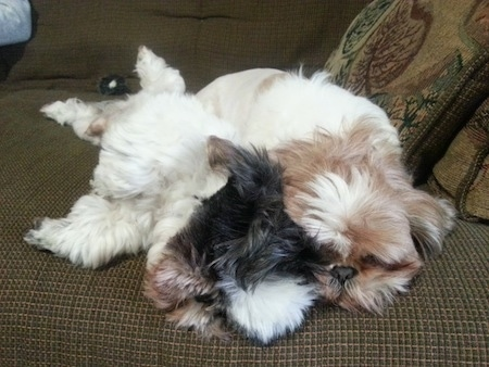 Two Shih Tzus, one tan and white and the other black and white, are sleeping on a brown couch. The left most Shih Tzu is laying on its side and against the back of the other Shih Tzu.