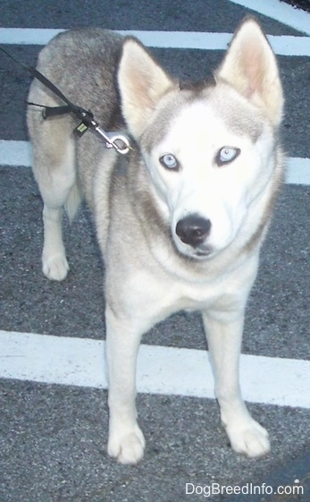 A grey and white Siberian Husky with blue-eyes is standing in a parking lot, it is looking up and to the left. Its head is slightly tilted to the left.