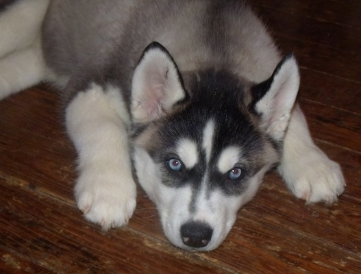 Huskies Dog Breed Info