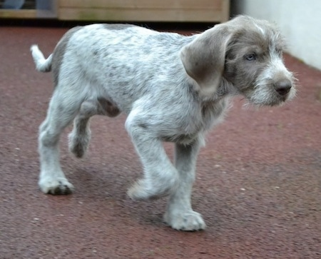 Side view - A golden brown-eyed, shorthaired, merle Slovakian Rough Haired Pointer puppy walking across a brown carpet moving to the right. The pup has longer wiry looking hair on its snout and long soft drop ears.