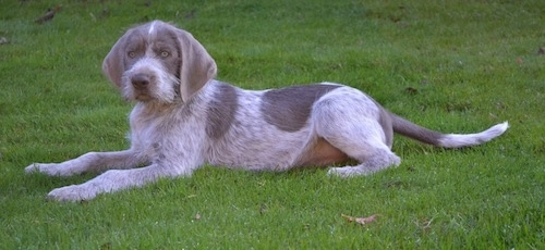 The left side of a golden brown-eyed, merle Slovakian Rough Haired Pointer dog laying in grass looking forward. It has a short coat with longer wiry looking fur on its snout and a long tail.