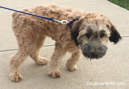 The right side of a tan with black Soft Coated Wheaten Terrier puppy that is standing across a walkway and it is looking forward. Its hair is shaved and it has darker hair on its muzzle and ears. Its nose is black.