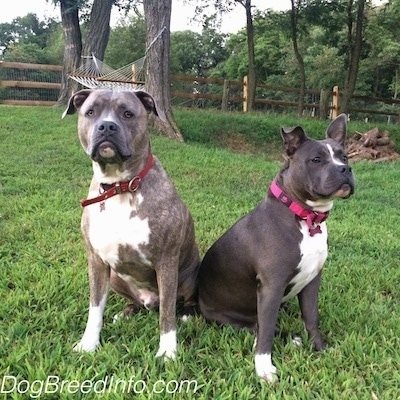 A blue-nose brindle Pit Bull Terrier and a blue-nose American Bully Pit are sitting next to each other with their backs touching outside in a yard. There is a white hammock attached to trees behind them.