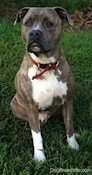 A blue-nose brindle Pit Bull Terrier is sitting in grass he is looking up and forward.