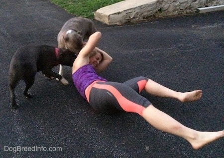 A blue-nose brindle Pit Bull Terrier and a blue-nose American Bully Pit are licking the neck of a laughing blonde-haired girl that is laying on a blacktop.