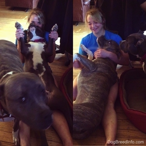 Left Picture - A blonde-haired girl is holding a blue-nose American Bully Pit in her hands and there is a blue-nose Brindle Pit Bull Terrier walking across in front of the girl. Right Picture - A blue-nose Brindle Pit Bull Terrier is laying in the lap of a blonde-haired girl. A blue-nose American Bully Pit is looking at them.