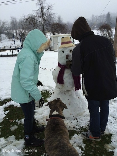 Two people and a blue-nose Brindle Pit Bull Terrier are building a snow man with a sausage nose.
