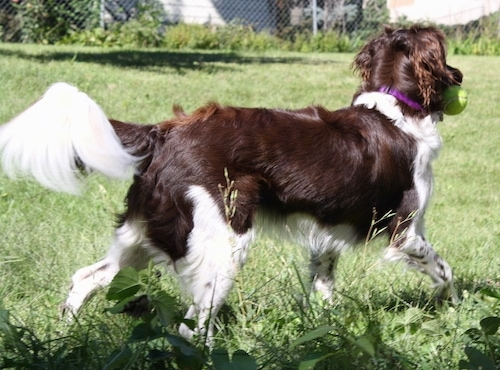 The back right side of a brown and white Stabyhoun is trotting across a grass surface and it has a tennis ball in its mouth. It has longer hair on its tail and ears.
