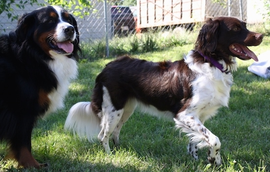 A brown and white Stabyhoun dog is standing in grass next to a black with brown and white Bernese Mountain Dog. Both of their mouths are open and their tongues are sticking out.