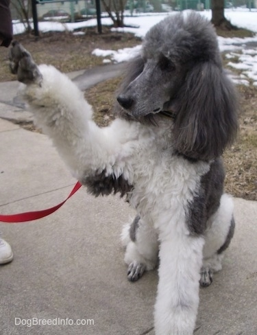 A white with gray, parti-colored Standard Poodle dog sitting across a concrete surface looking to the left and it has its front right paw in the air. It has long thick hair on its ears.