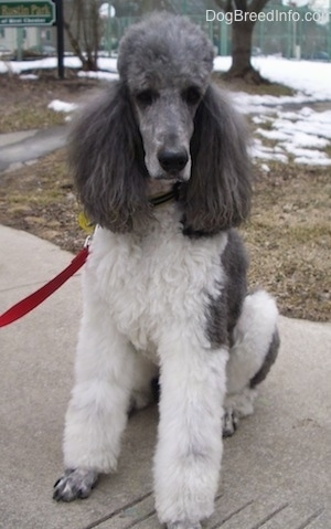 The front of a white with gray, parti-colored Standard Poodle dog sitting across a concrete walkway looking forward. It has a long muzzle with short hair and a big black nose.