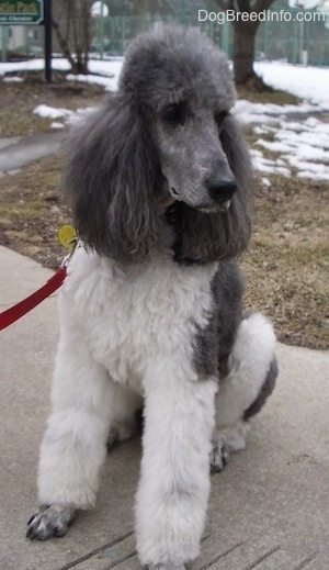 A white with gray, parti-colored Standard Poodle dog sitting on a concrete walkway looking to the right. The dog has a thick coat and long thick hair on its ears.