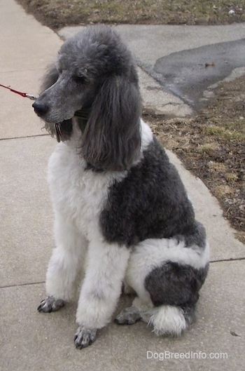 The left side of a thick coated, parti-colored white with gray Standard Poodle dog sitting down on a concrete surface. The dog has long soft ears.