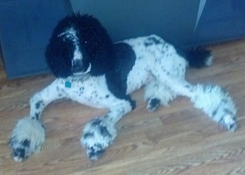 A shaved, white with black parti-colored Standard Poodle dog laying across a hardwood floor with its back against the couch. It is looking forward and up.