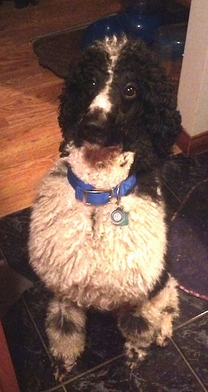 Front view - A thick coated, white with black, parti-colored Standard Poodle dog sitting on a marble tiled floor looking up.
