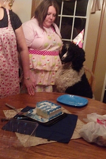A white with black, parti-colored Standard Poodle dog sitting in a chair and there is a table with a cake on it. There are people standing around the dog.