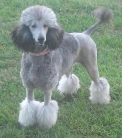 Front side view - A grey with white Standard Poodle dog standing in grass looking forward and its mouth is open. The dog's back end is shaved along with the center area of its front legs. It has longer hair on its head, ears chest and paws.