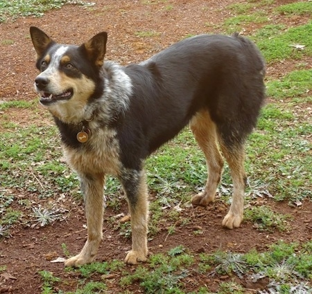 The front left side of a black with tan and white Texas Heeler dog that is standing across patchy dirt and it is looking to the left. Its mouth is open and it looks shocked. It has small perk ears.