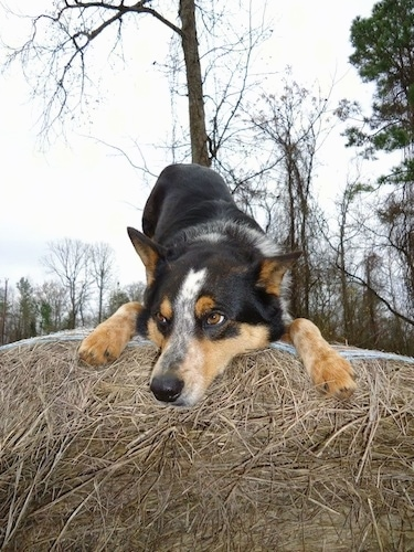 Close up - A black with tan and white Texas Heeler is play bowing on a pile of hay looking down and to the left.