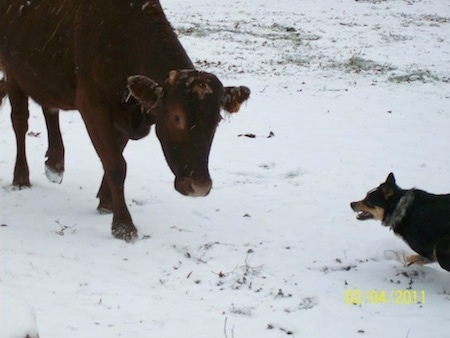 The left side of a black with tan and white Texas Heeler dog running in front of a brown cow in snow.