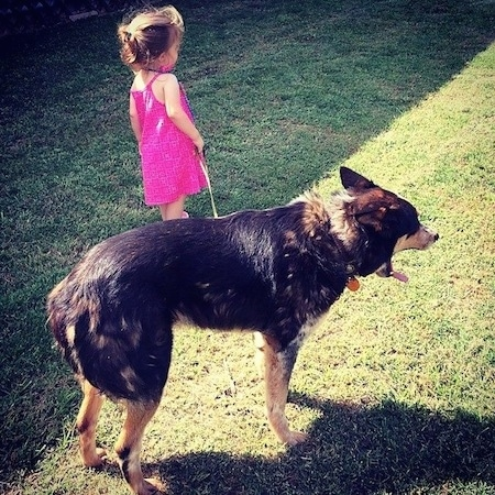 The back right side of a black with tan and white Texas Heeler dog standing across a yard and behind it is a toddler in a hot pink dress holding the dogs leash.