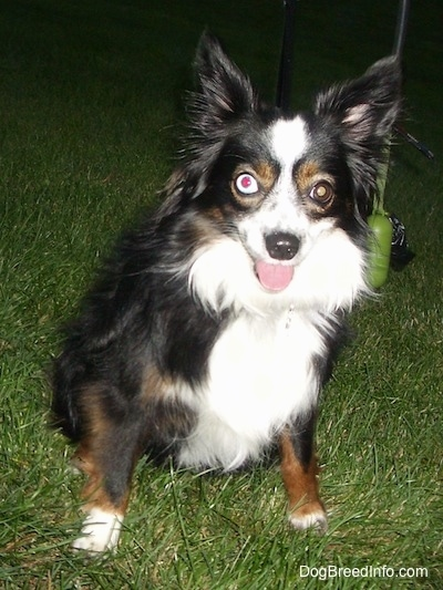A perk-eared black with brown and white Miniature Australian Shepherd is sitting in grass. Its mouth is open and tongue is out. It has one blue eye and one brown eye.