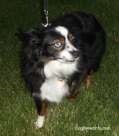 View from the front - A perk-eared, tricolor, black with white and brown Toy Australian Shepherd is standing in grass. One of the dog's eyes is blue and the other is brown. Its head is up and it is looking to the right. Its right paw is up in the air.