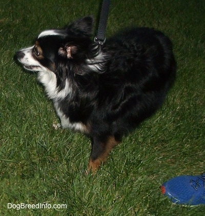 Side view - A perk-eared, tricolor, black with white and brown Toy Australian Shepherd is standing in grass turning to the left. There is a person wearing a blue sneaker next to it.
