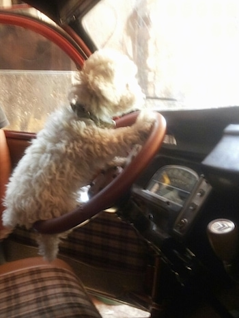 The right side of a small tan Toy Poodle puppy that is sitting on the steering wheel of a vehicle.