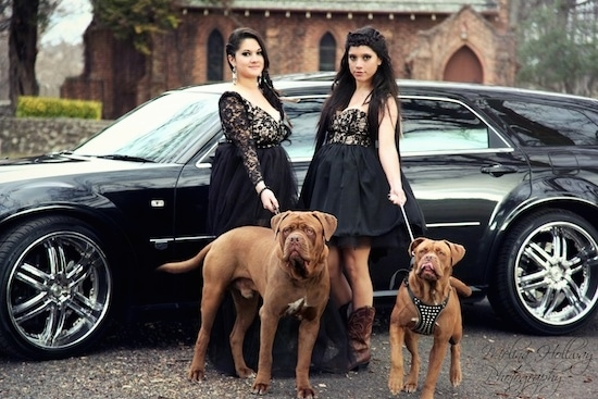 Two brown with white Ultimate Mastiff dogs are standing on a blacktop surface in front of two ladies in black dresses and behind them is a black vehicle and a fancy brick building.