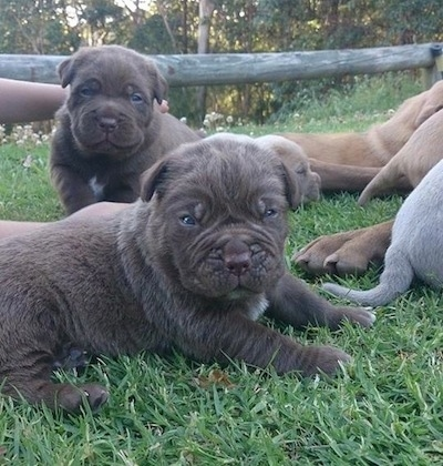 Two stocky, wide, extra skinned, wrinkly, Ultimate Mastiff puppies are laying and standing in grass. There is a person to the left of them and to the right of them are more dogs.