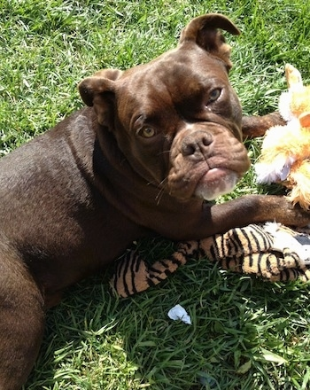 Top down view of a brown with white Valley Bulldog that is laying across a grass surface, it is laying on top of a plush doll and it is looking up. It has light brown slanty eyes a frown looking face and a brown nose.