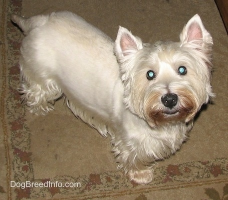 Top down view of a West Highland White Terrier dog standing across a carpeted surface and it is looking up. The dogs eyes are wide and round and it has small perk ears and longer hair on its face and under belly.