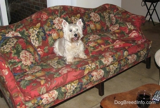 A West Highland White Terrier dog is sitting on a red floral print couch.