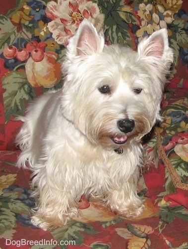 The front right side of a West Highland White Terrier that is sitting on a floral print couch and it is looking down and over the edge of the couch. It has a black nose and small perk ears.