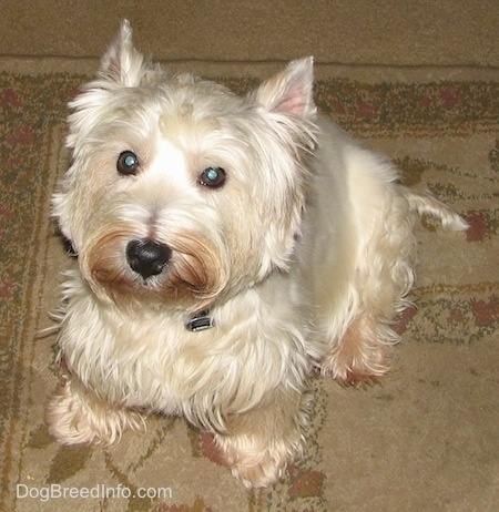 Top down view of a West Highland White Terrier dog that is sitting on a carpet and it is looking up. It has a black nose and round dark eyes. There is a brown copper coloring on its snout and paws.