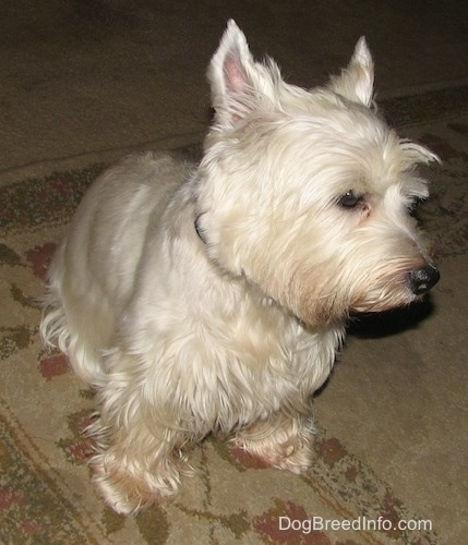 A West Highland White Terrier dog is sitting on a carpet and it is looking to the right. It has longer hair on its eyebrows.