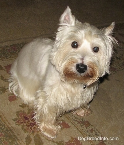 A West Highland White Terrier dog is sitting on a rug, it is looking up and its head is tilted to the right. It has perk ears, large round dark eyes and a black nose with rust stains on its face.