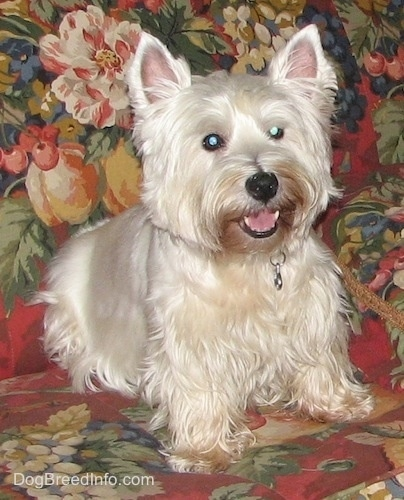 The front right side of a West Highland White Terrier. The Westie is sitting on a floral couch, it is looking forward, its mouth is open and it looks like it is smiling.