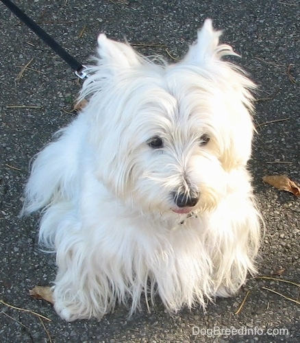 A West Highland White Terrier is sitting on a rocky surface and it is looking forward. It has a very thick long coat, a black nose and dark eyes.
