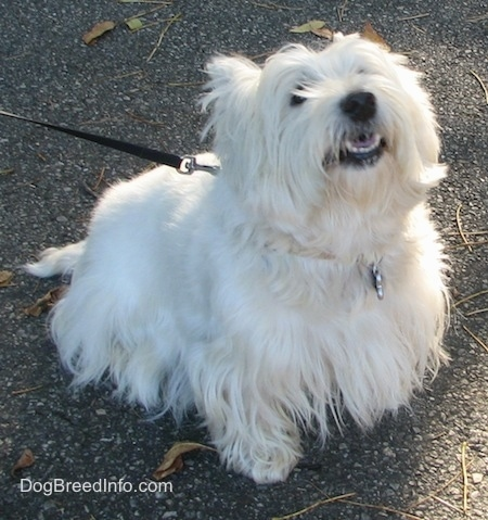 The front right side of a West Highland White Terrier that is sitting on a rocky surface. It is looking up and its mouth is slightly open. It has a black nose, dark lips, white teeth and dark eyes with a long thick white coat.