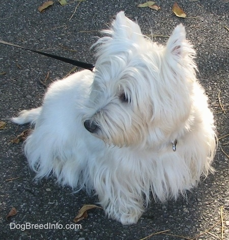 The front right side of a West Highland White Terrier that is sitting across a concrete surface and it is looking to the left. It has a long think coat.