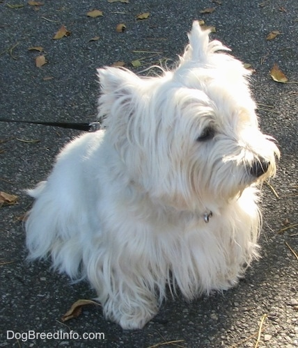 The front right side of a West Highland White Terrier that is sitting on a blacktop surface and it is looking to the right. It has small perk ears with fringe white hair hanging from them.