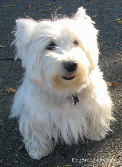 A West Highland White Terrier is sitting on a blacktop surface, it is looking forward and its mouth is slightly open. It has black lips, a black nose and dark eyes and a thick white coat.