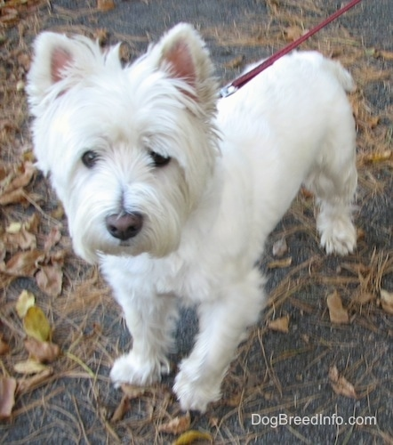 The front left side of a West Highland White Terrier dog that is standing across a leafy black top surface. It has longer hair on its face, small perk ears and a short tail.