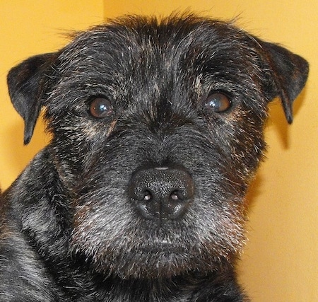 Close up - The face of a brindle black with tan Westie Staff dog that is looking forward. It has small fold over ears that are v-shaped.