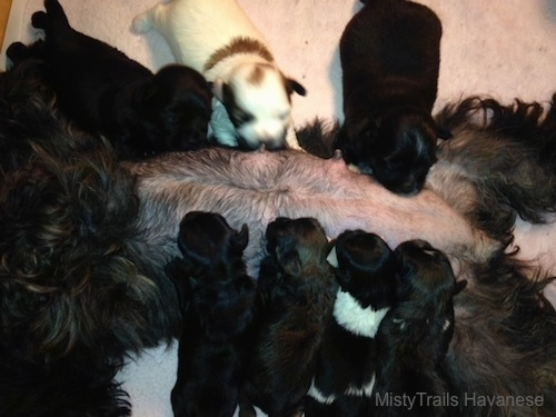 A litter of puppies feeding