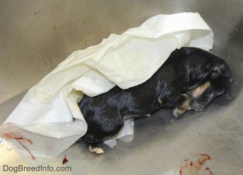 A newborn dead puppy in a sink next to a paper towel