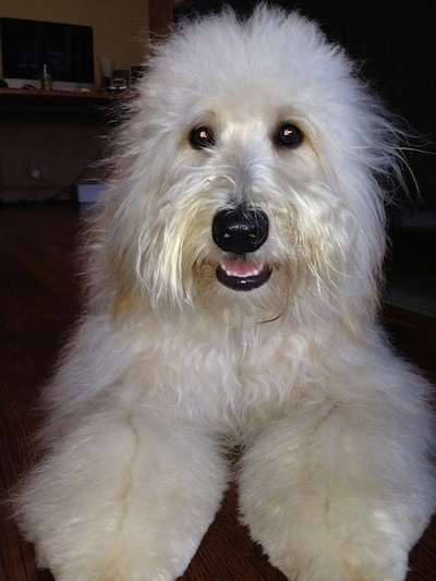 Whoodle Dog Breed Information and Pictures, Wheaten Terrier