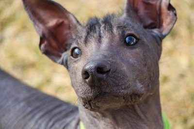 Close up Headshot - The face of a black hairless Xoloitzcuintli puppy that is standing across a grass surface. It is looking up and its head is tilted to the left. It has wide round brown eyes, a fuzz of hair on is forehead and large perk ears with wrinkly skin.